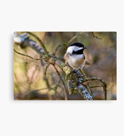 Black Capped Chickadee - Amherst Island, Ontario Canvas Print