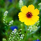 Wildflowers in the Hill Country of Central Texas. by Matt Suess