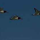 Oystercatchers in flight by Jon Lees