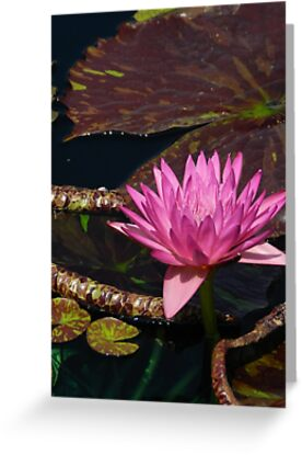 Lily Pink  by Marijane  Moyer