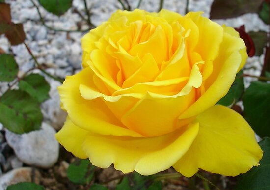 Beautiful Yellow Rose with Natural Garden Background by taiche