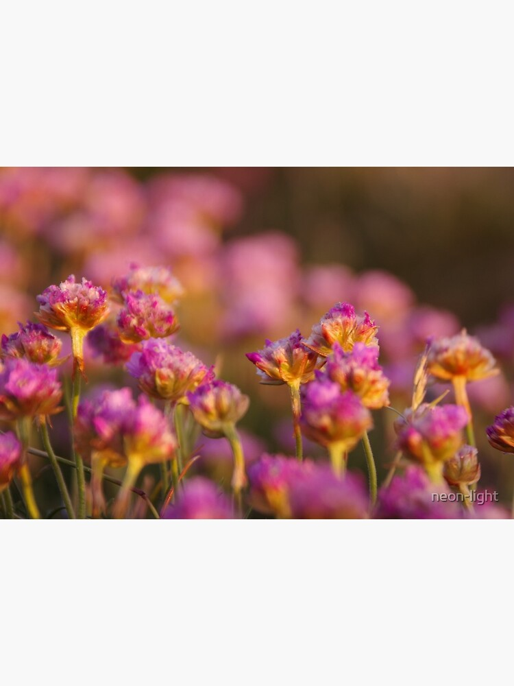 Pink Thrift Flowers in the Evening Sun by neon-light