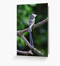 Male Whydah Greeting Card