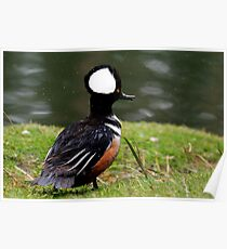 Hooded Merganser Poster