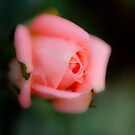 Pink Rose by michelsoucy