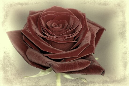 A Rose by Aase