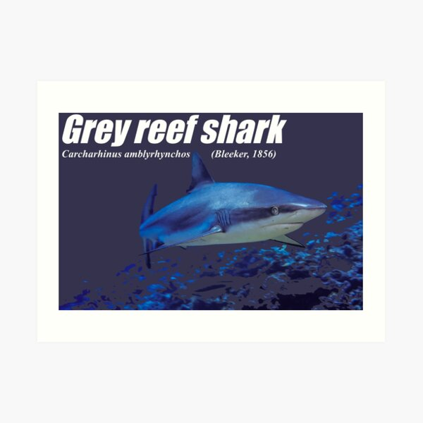 Grey Reef Shark cut-out Art Print