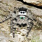 Grey Jumping Spider by George Kashouh