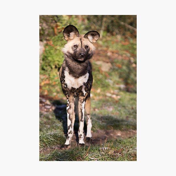 Afrikanischer Wildhund Fotodruck