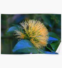 Pararchidendron pruinosum Poster