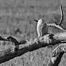 Snowy Owl asleep on a branch by michelsoucy