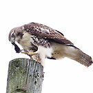Redtail Hawk finishing a meal by michelsoucy