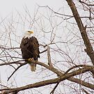 Bald Eagle in a tree by michelsoucy