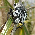 Black and White Capnodis Cariosa Beetle  by taiche