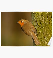 Robin hanging on a tree Poster