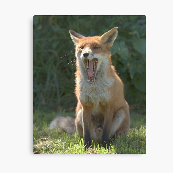 Toothy fox Canvas Print