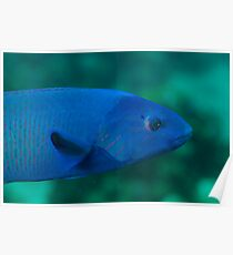 Blue Wrasse Poster