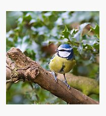 Blue Tit (Cyanistes Caeruleus) Perched in a Tree Photographic Print