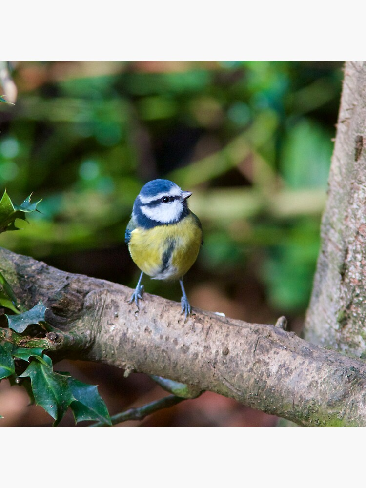 A Blue Tit (Cyanistes Caeruleus) Perched on a Branch by robcole