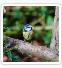 A Blue Tit (Cyanistes Caeruleus) Perched on a Branch Sticker