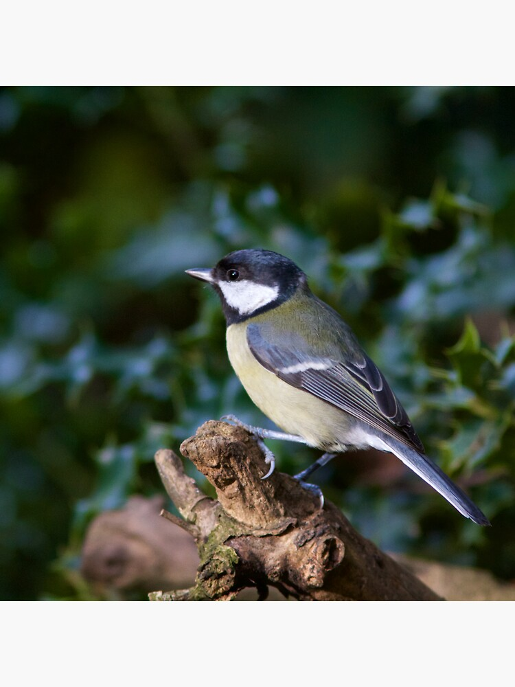 A Great Tit (Parus Major) Perched in Woodland by robcole