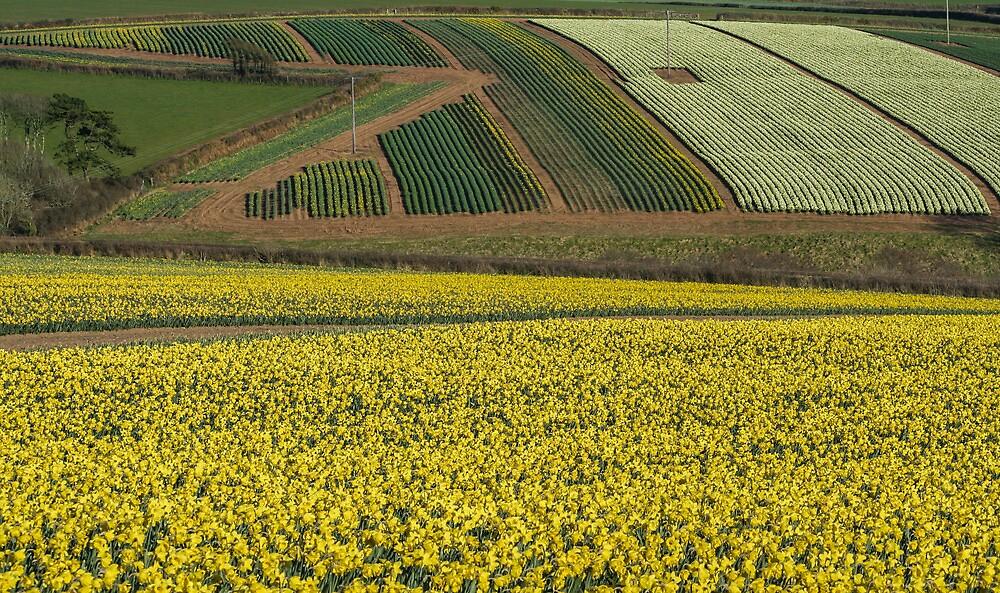 Daffodil cultivation by Snowyturner