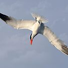 Nose Dive - The Tern by Kathy Baccari
