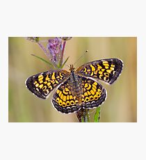 Pearl Crescent Butterfly on Wildflowers Photographic Print