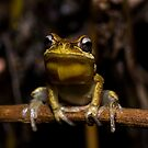 Whistling Tree Frog by D Byrne