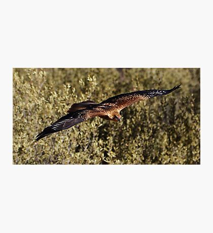 """Brown Kite in Flight"" Photographic Print"