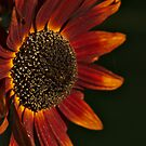 Red as the Sun (flower) by Bruce Guenter