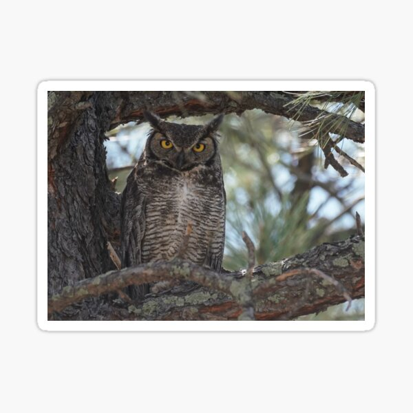 Great Horned Owl Looking at Camera Sticker