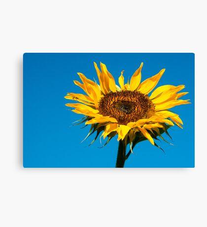 Yellow against blue Canvas Print
