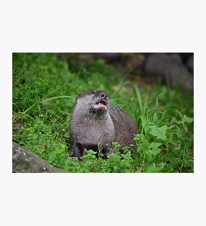 Asian Small Clawed Otter Photographic Print