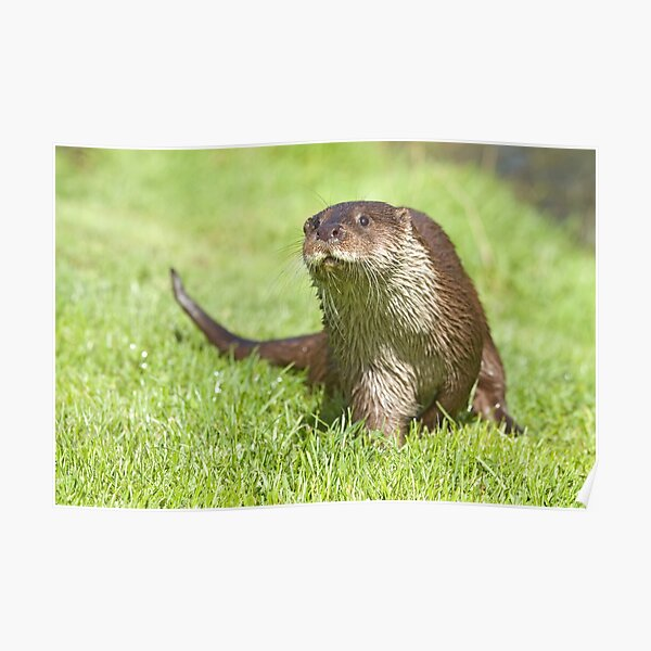 Curious otter Poster