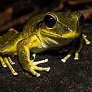 Litoria wilcoxi - Stoney Creek Frog by D Byrne