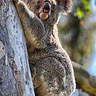 Koala by Kym Howard