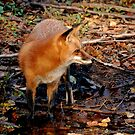 Red Fox At The Rivers Edge by Kathy Baccari