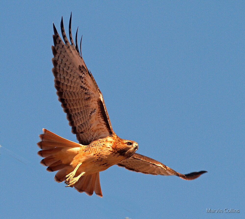 101312 Red Tailed Hawk by Marvin Collins