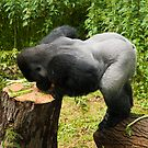 Western Lowland Gorilla, Silverback Doing Press Ups by fg-ottico