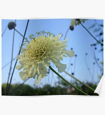 Scabious Poster