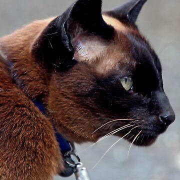 Havana Brown Cat by simpsonvisuals