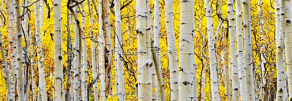 Aspen Trunks by Reese Ferrier