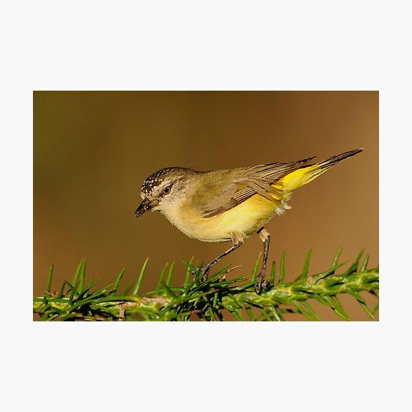 Yellow-rumped Thornbill  3# Photographic Print