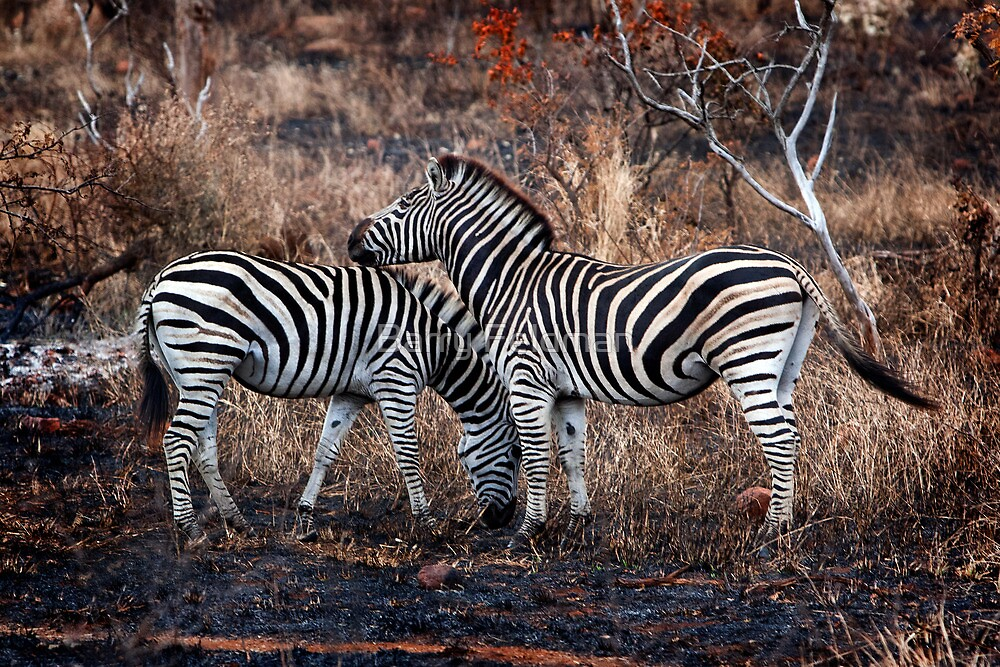 Burchells zebra pair. by Barry Feldman