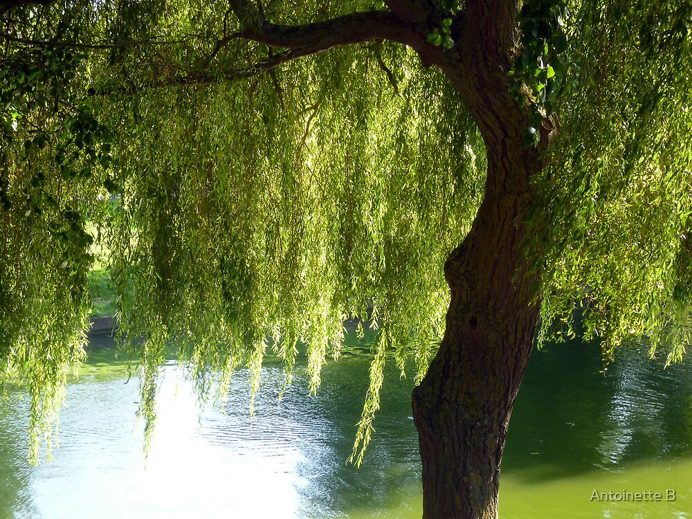 Willow tree by the canal by Antoinette B
