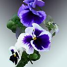 Three Purple Pansies in a Row by Susan Savad