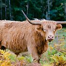 Highland Cow by JEZ22