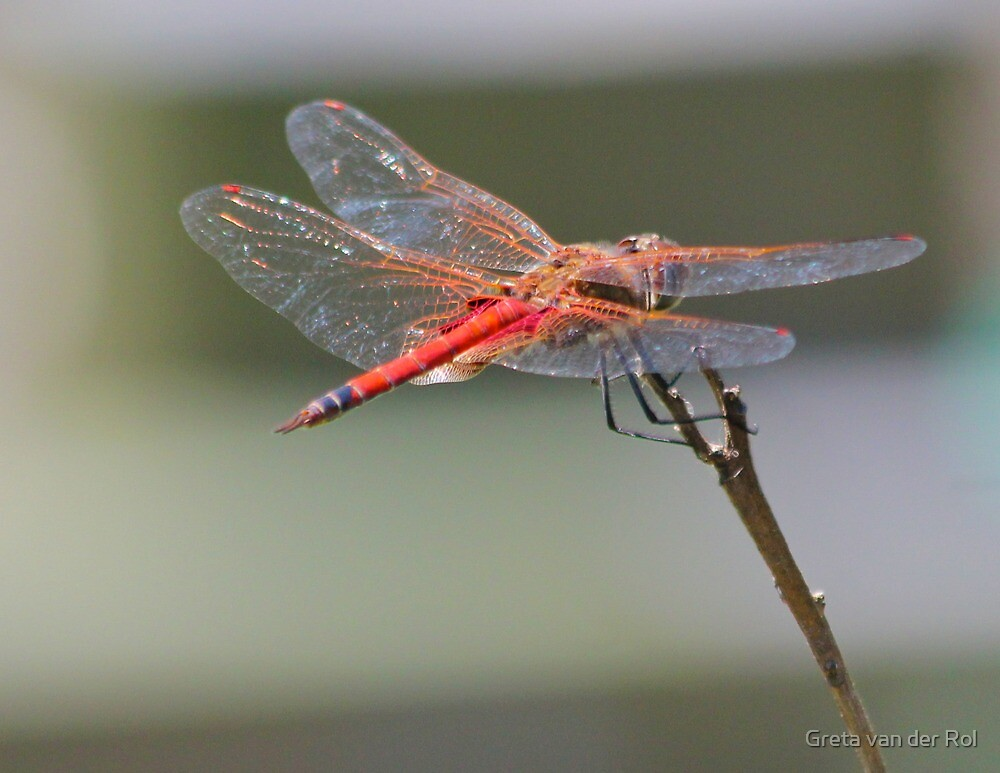 Sunlight sparks off a dragonfly's wings by Greta van der Rol
