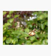Cross Back Garden Spider Photographic Print